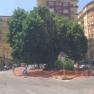 Napoli  piazza degli Artisti   l'albero di fitolacca